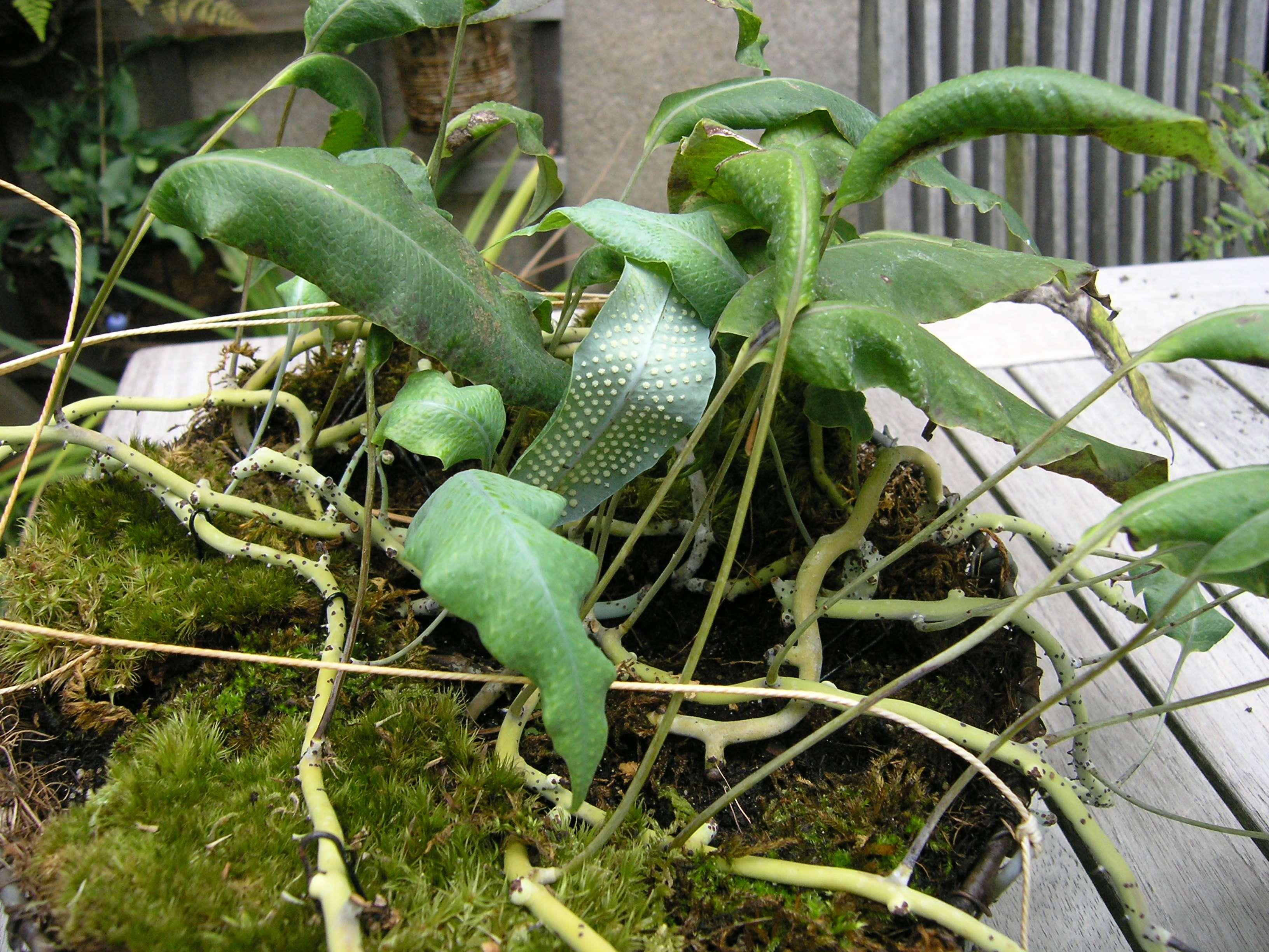Polypodium levigatum